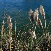 Santa Cruz, California: Grasses at the Harbor - Landscape Photography