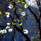 Merced River, Yosemite, California: Spring Dogwood blossoms - Landscape Photography